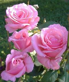 Le Mie Rose Ebm Pages