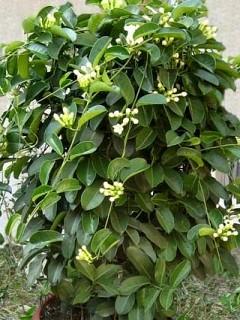 Apocynaceae ebm pages for Pianta fiori di cera